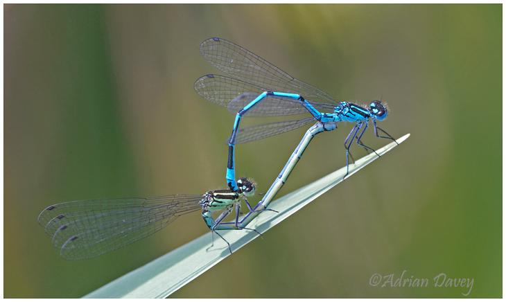 Azure Damselflys mating
