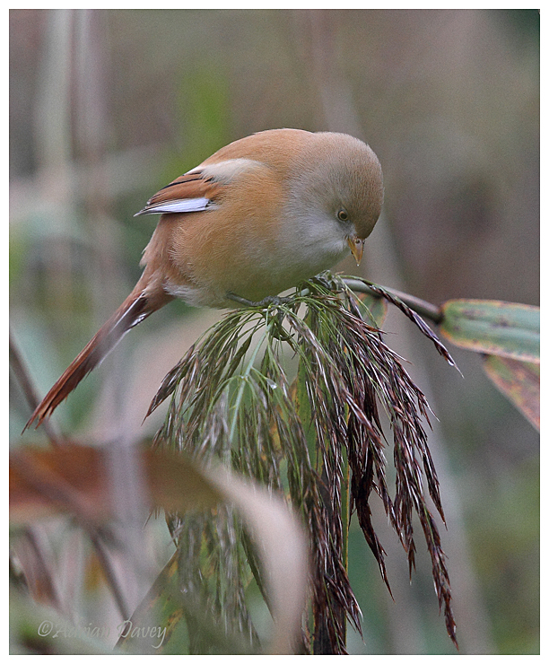 Bearded Tit. female