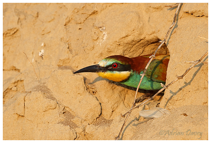 Bee eater looking outof nest burrow.