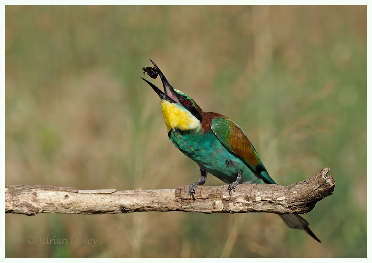 Bee eater with Beetle