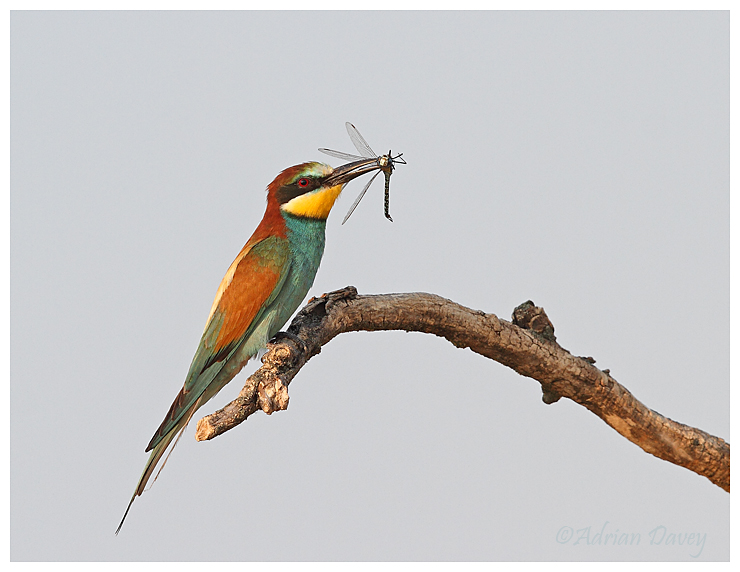 Bee eater with Dragonfly 2