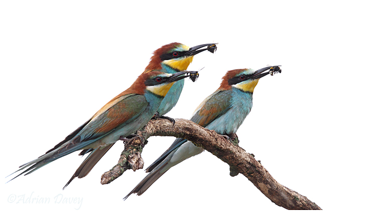 Three Bee eaters with food