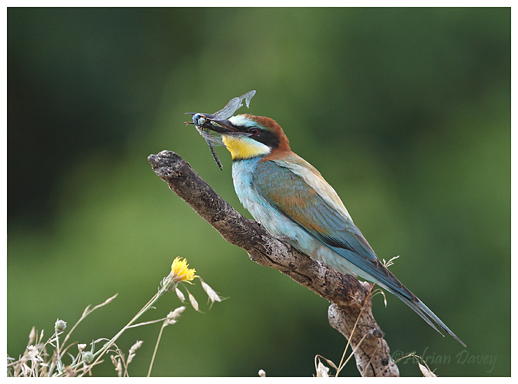 Bee eater with Dragonfly 3