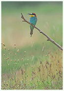 Bee eater.