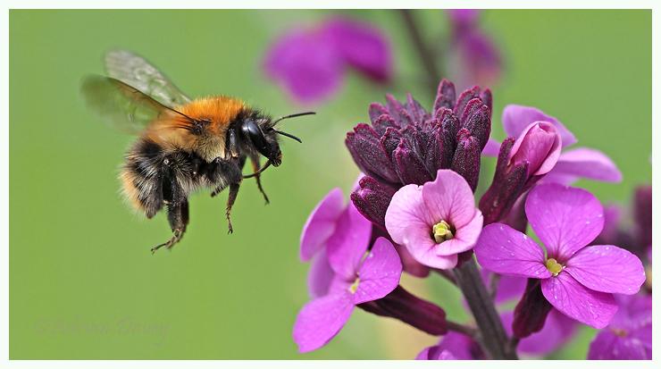 Carder Bee flight