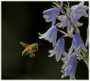 Bee approaching Bluebell