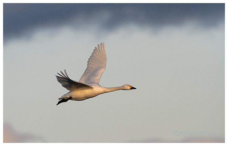 Bewick's Swan flight