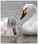 Bewicks Swan, Adult and Juvenile