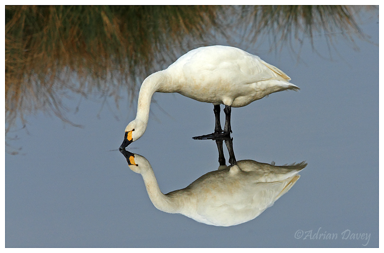 Bewicks Swan on Ice
