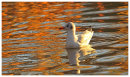 Black Headed Gull on Autumn Colour reflections.