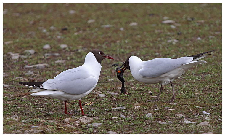 Black Headed Gull ,male presenting female with moorhen chick 2