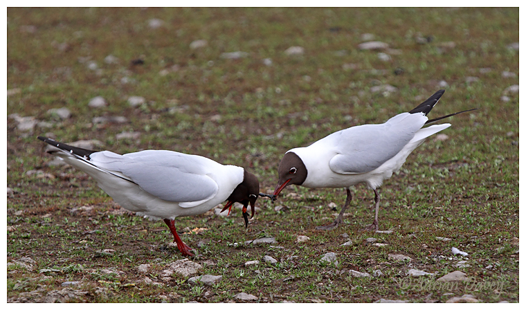 Black Headed Gull ,male presenting female with moorhen chick 1