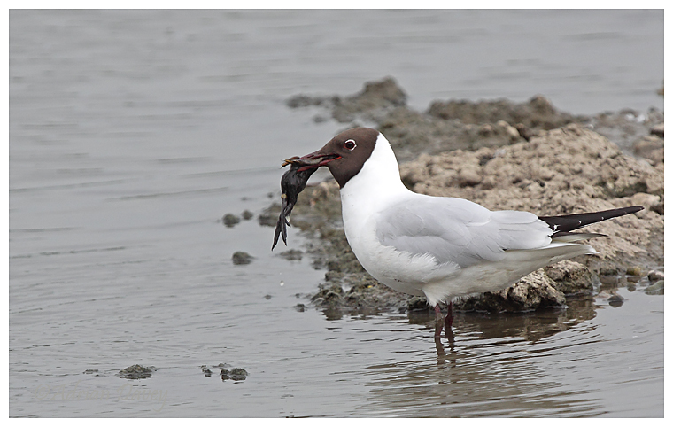 Black Headed Gull with dead Moorhen chick.