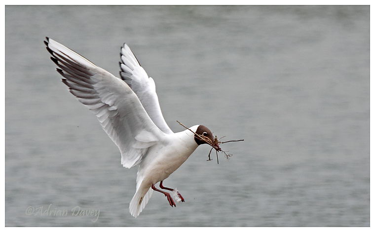 Black Headed Gull with nest material.