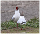 Black Headed Gull courtship