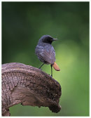 Black Redstart, male with food for young
