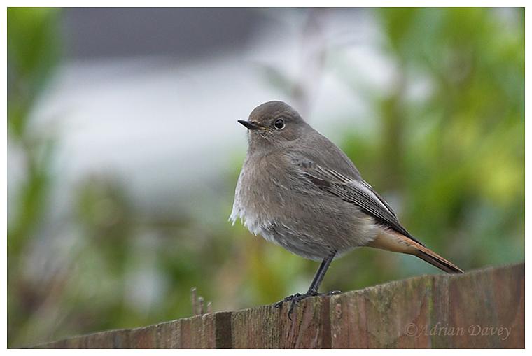 Black Redstart, 1st winter or female.