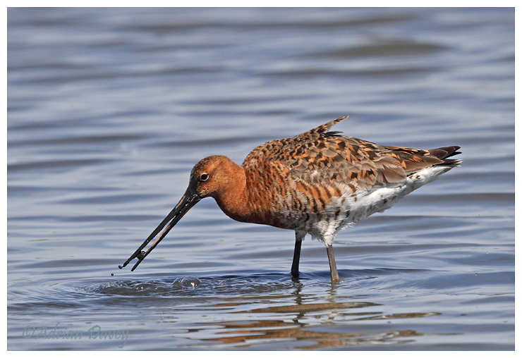 Black Tailed Godwit feeding