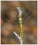Female Black Tailed Skimmer