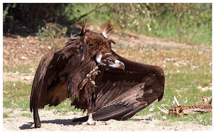 Black Vulture on the march.