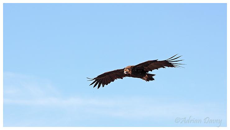 Black Vulture flyover