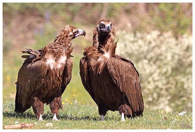 Black Vultures.