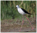 Black Winged Stilt adult