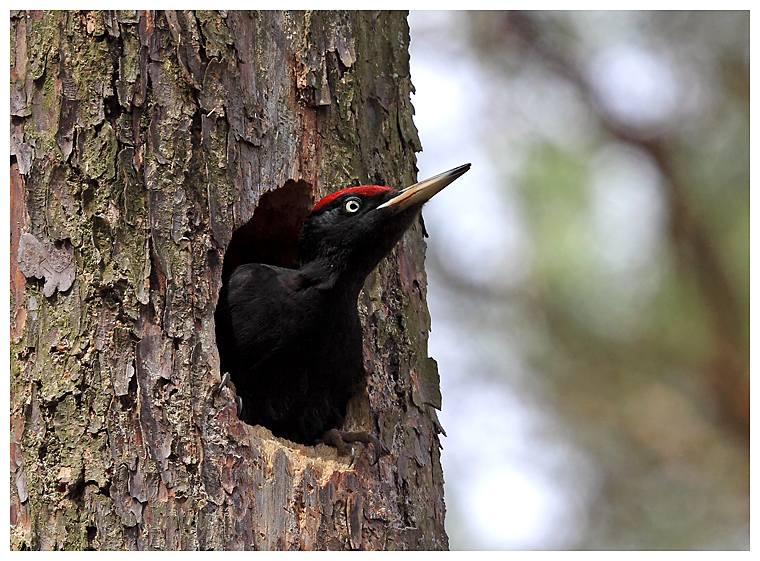 Male Black Woodpecker looking out of nest.Biebrza,Poland,April 2013.