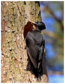 Female Black Woodpecker at nest hole.