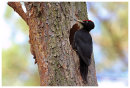 Male Black Woodpecker at nesthole