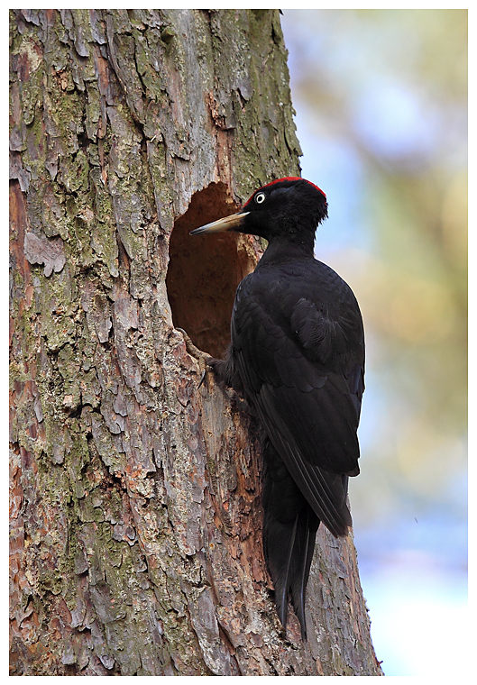 Male Black Woodpecker at Nest hole