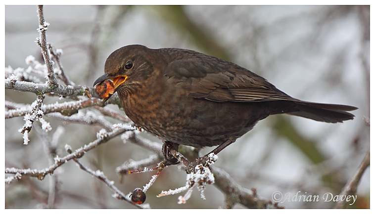 Female Blackbird eating crab apple