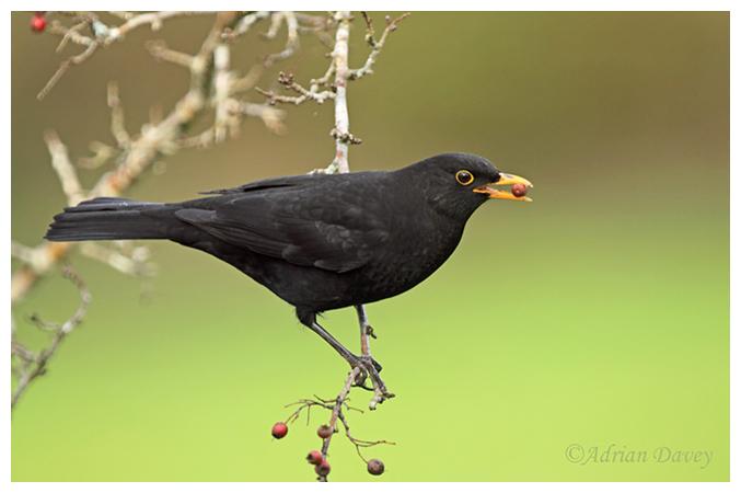 Male Blackbird eating berries