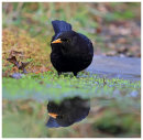 Blackbird reflection