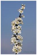 Blackthorn Blossom- Mayflower.