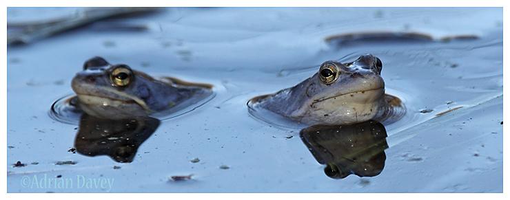 Moor Frogs. (Rana arvalis )