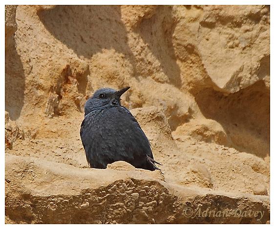 Male Blue Rock Thrush