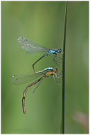 Blue Tailed Damsels ( I think) paired