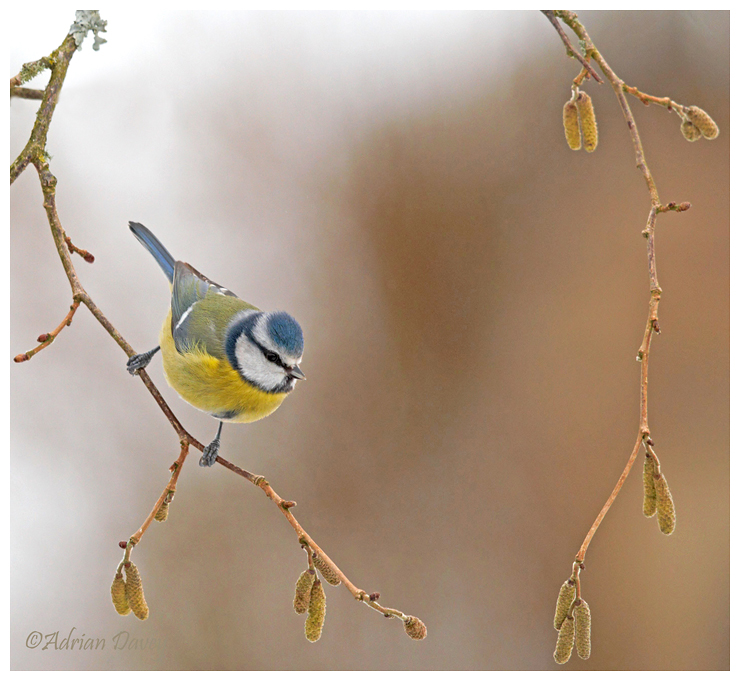 Blue Tit on Catkins