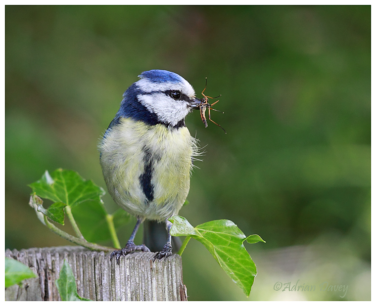 Blue Tit with food for young