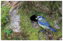 Blue Tit at nest hole in tree trunk