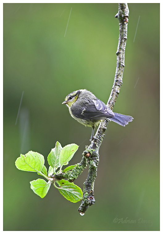 Young Blue Tit in the rain
