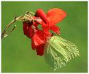 Brimstone on Runner Bean flower
