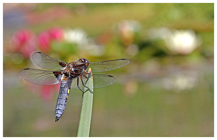Broad Bodied Chaser and Water Lilies.