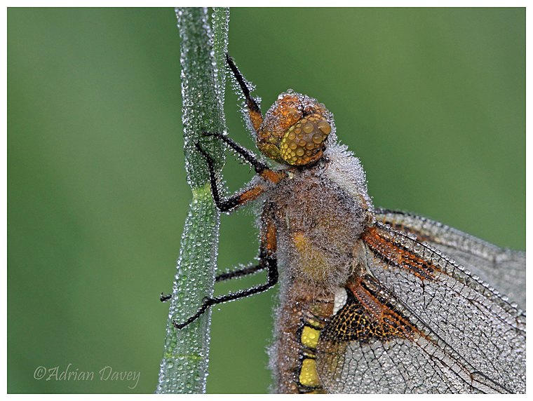 Broad Bodied Chaser with Dew 2
