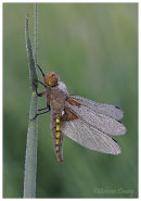 Broad Bodied Chaser with Dew 1