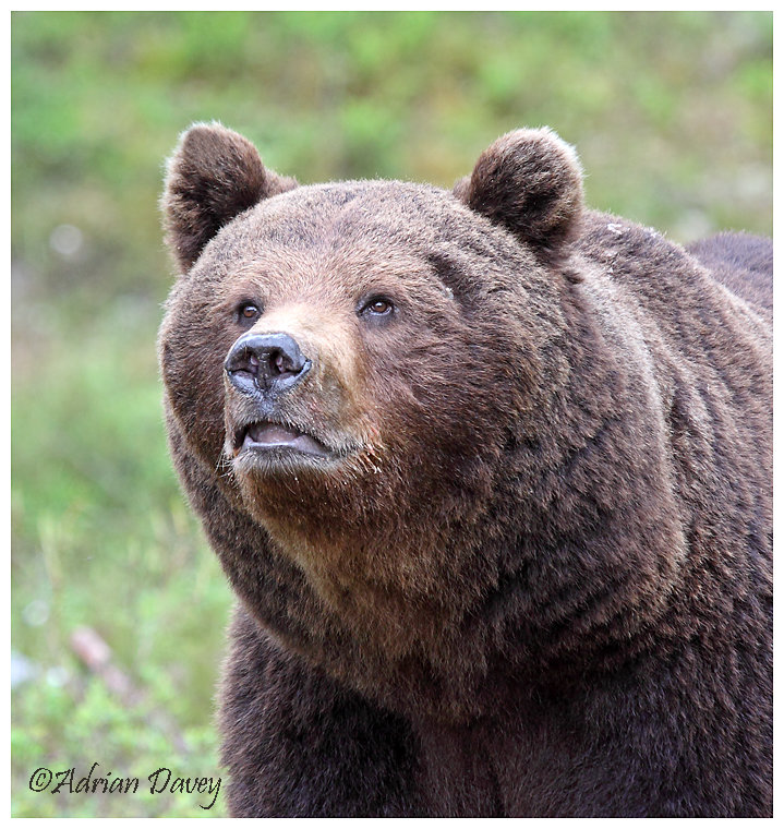 Brown Bear 9- A closer look