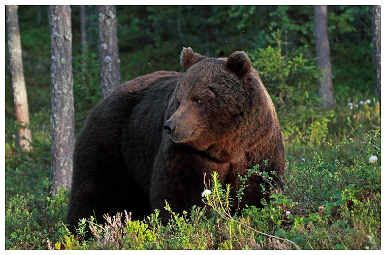 Brown Bear 2- In the early morning light.
