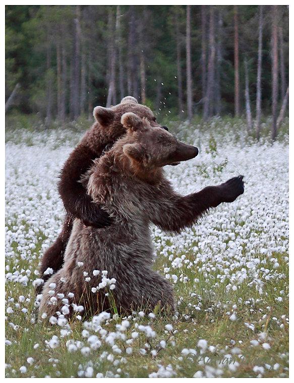 Brown Bear 7- Lets Dance