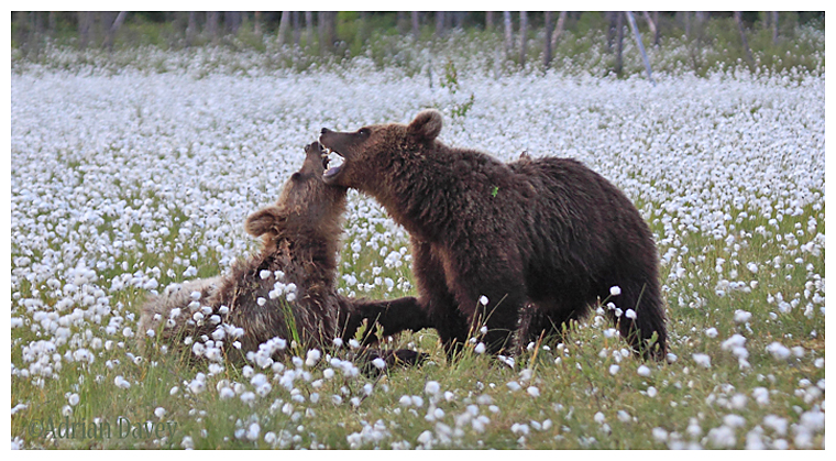 Brown Bear 6-Play fighting
